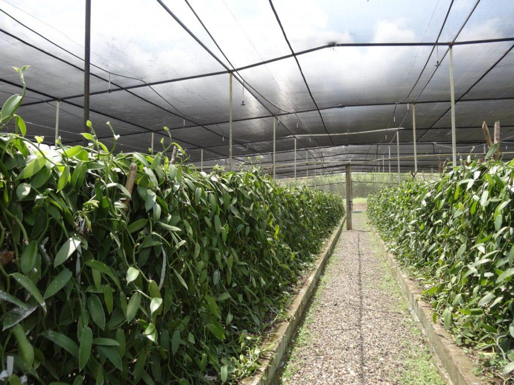 VANILHA planifolia consultingvanilla baunilha island west africa agriculture farmers transformation covid-19 spice épices nature orchidées caviar pollinisation